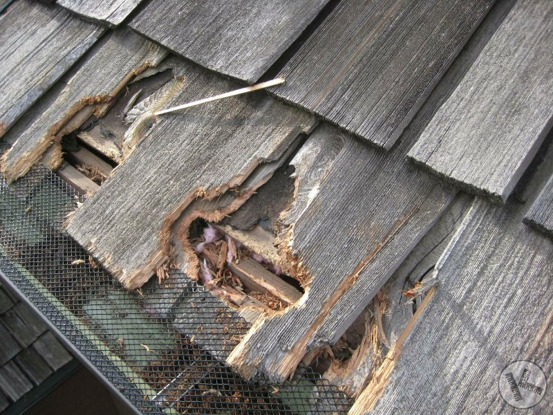 A Squirrel Hates My Roof! Should I Kill It? (Minnesota)