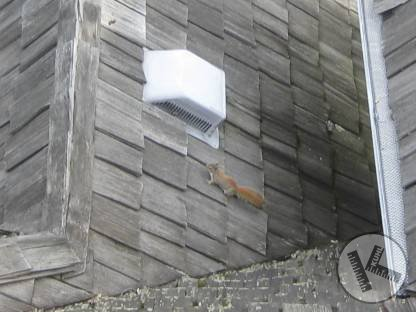 Little Bastard Squirrel Who is Wrecking A Roof